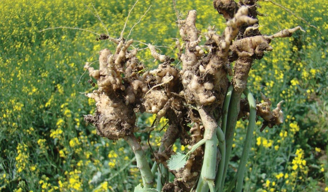 A new clubroot pathotype that can overcome clubroot resistance has been confirmed in Alberta fields.