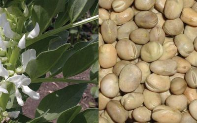 New Tool in Time for Faba Bean Harvest Helps Growers Determine When to Spray