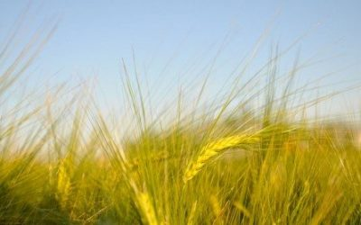Alberta Barley Announces Funding For New Research Projects Aimed At Increasing Farm Profitability