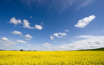 New Study Finds Possible Higher Yielding Canola