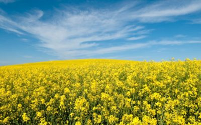 Canola Quality With Winter Or Spring Harvest