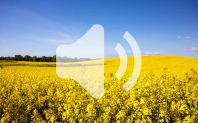 Listen Now: As Canola Flowers, Insect Pressure Looms