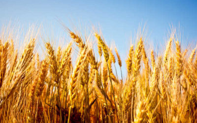 In-Season Cereal Management