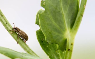 Monitor for Insect Pests this Growing Season