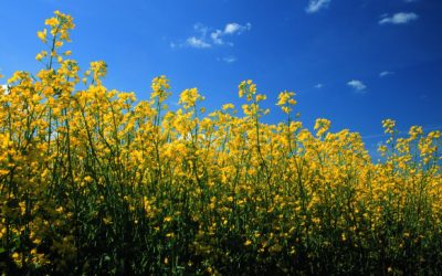 CCC releases new seed cost feature for the Canola Calculator