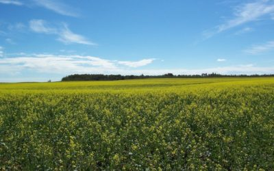 Blackleg and Clubroot in Canola