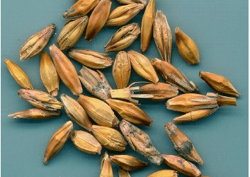 VIEWPOINT: Learning to live with Fusarium