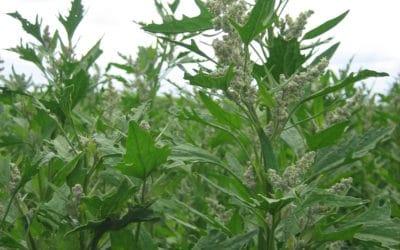 Advancing Quinoa