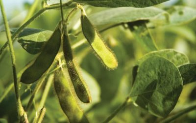 Riding the Western Soybean Wave