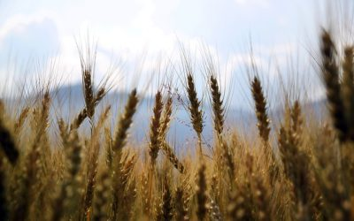 Wheat Research to Focus on Yield and Customer Needs