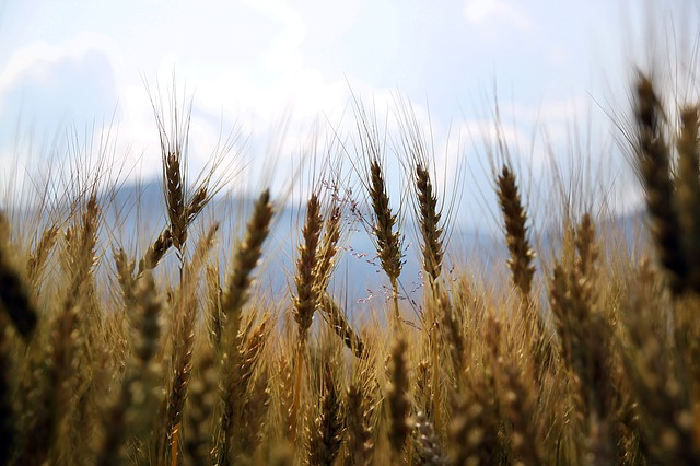 Wheat heads blow in the wind