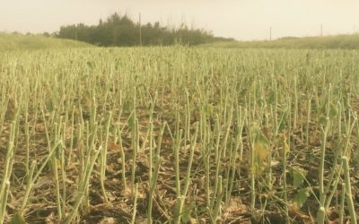 Post-Harvest Herbicide Applications Help Next Year's Crop Get off to a Better Start