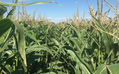 Optimizing Your Corn Crop: Why Dual Purpose Hybrids Provide the Best Chance of Success