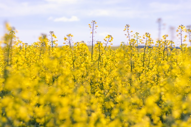 Flowering canola in a field
