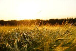 Barley field at dusk