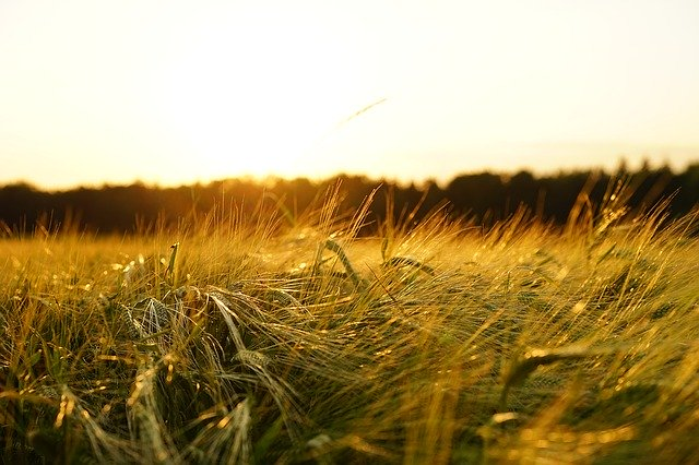 Barley field at dusk