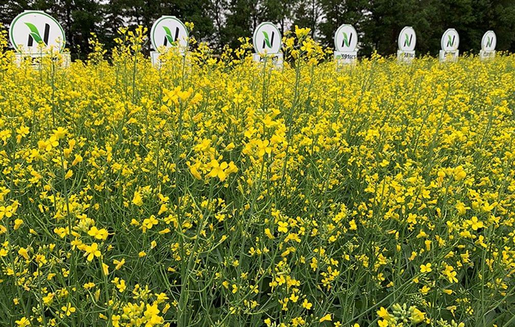 Proven Seed canola hybrid plots