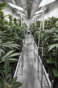Delta 9 plants