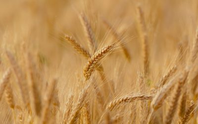 Canadian Team Nabs Borlaug Stewardship Award for Innovation in Wheat Rust Research