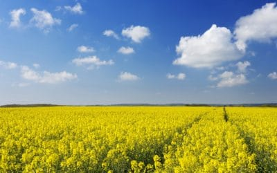 Alberta Farmers to Plant More Canola, Lentils