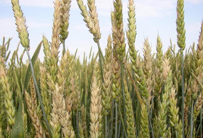 Fusarium head blight on wheat