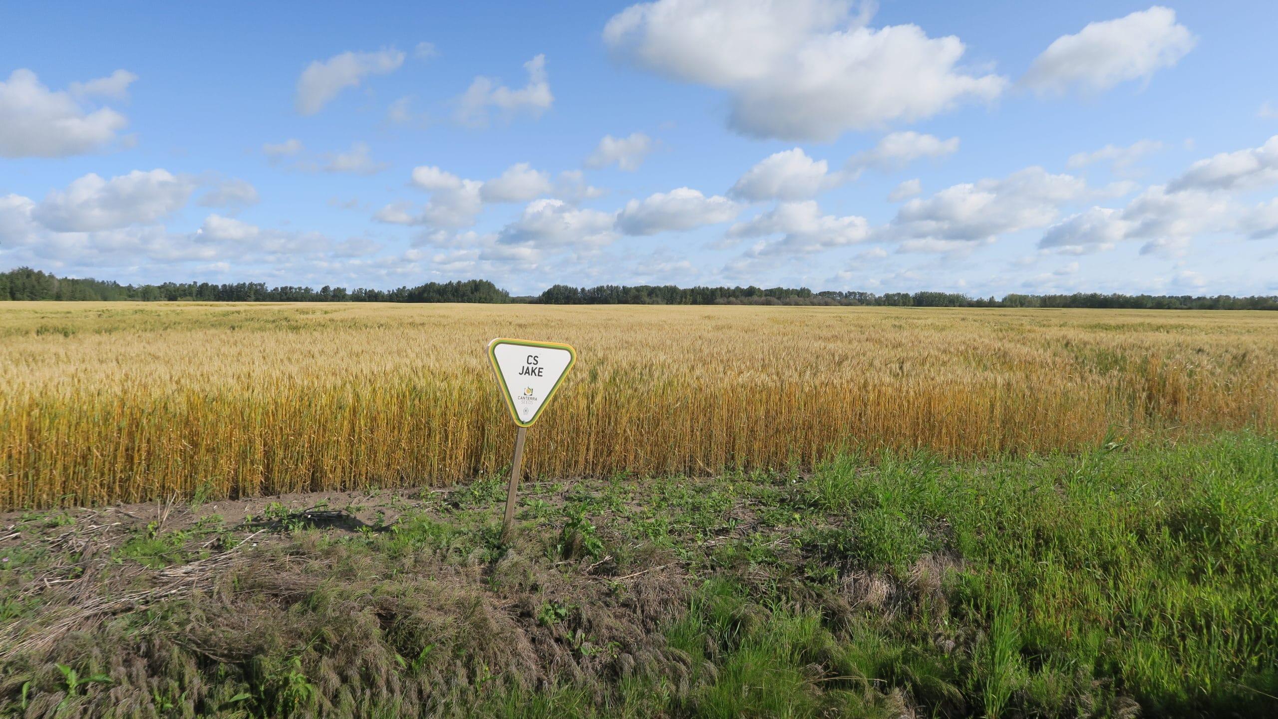 CS Jake wheat field