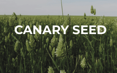 Canary Seed is Gaining the Attention of Unscrupulous Buyers