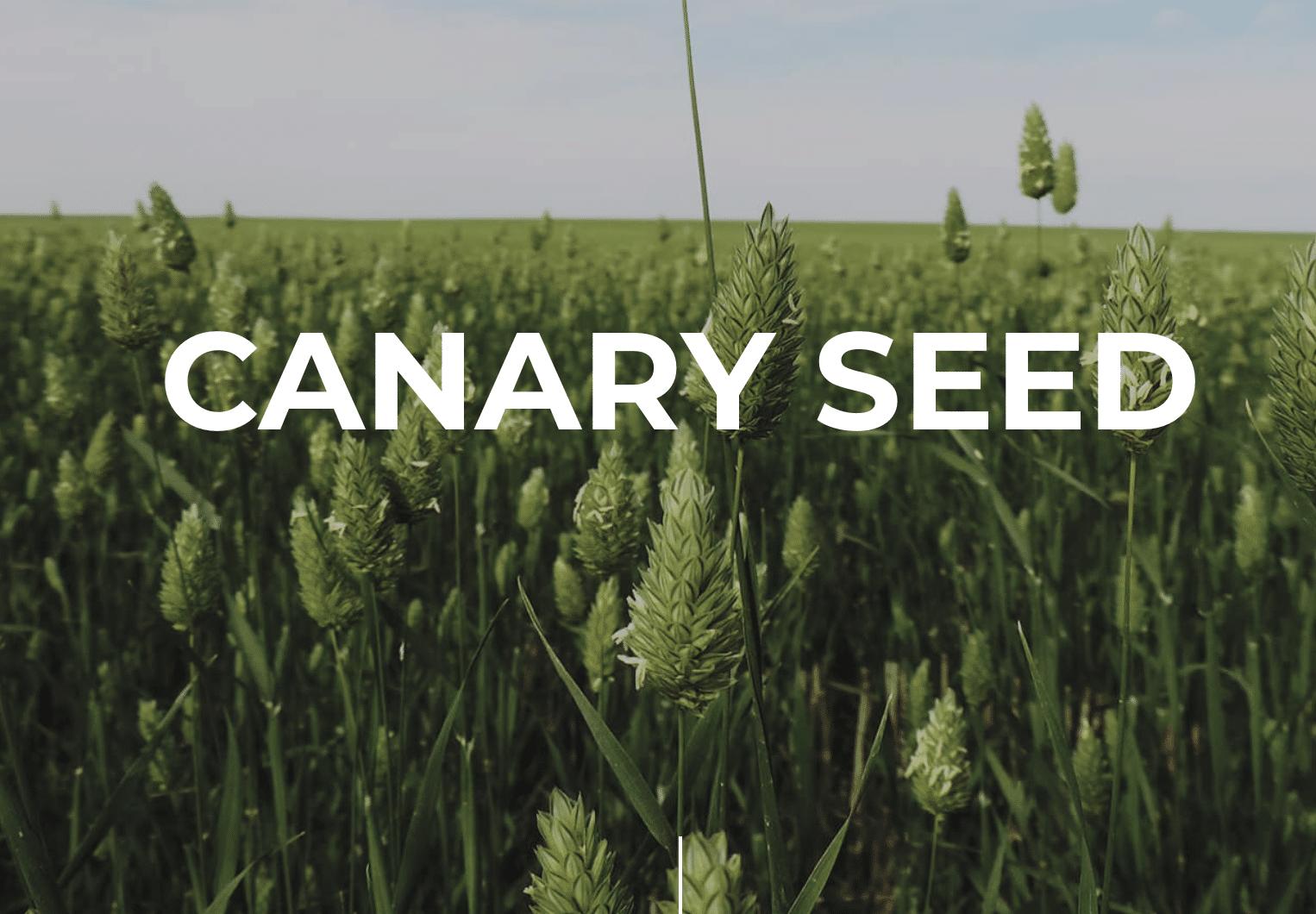 Canary seed