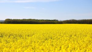 Bright yellow canola field