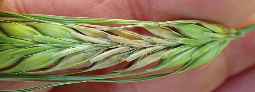 Fusarium infected wheat head