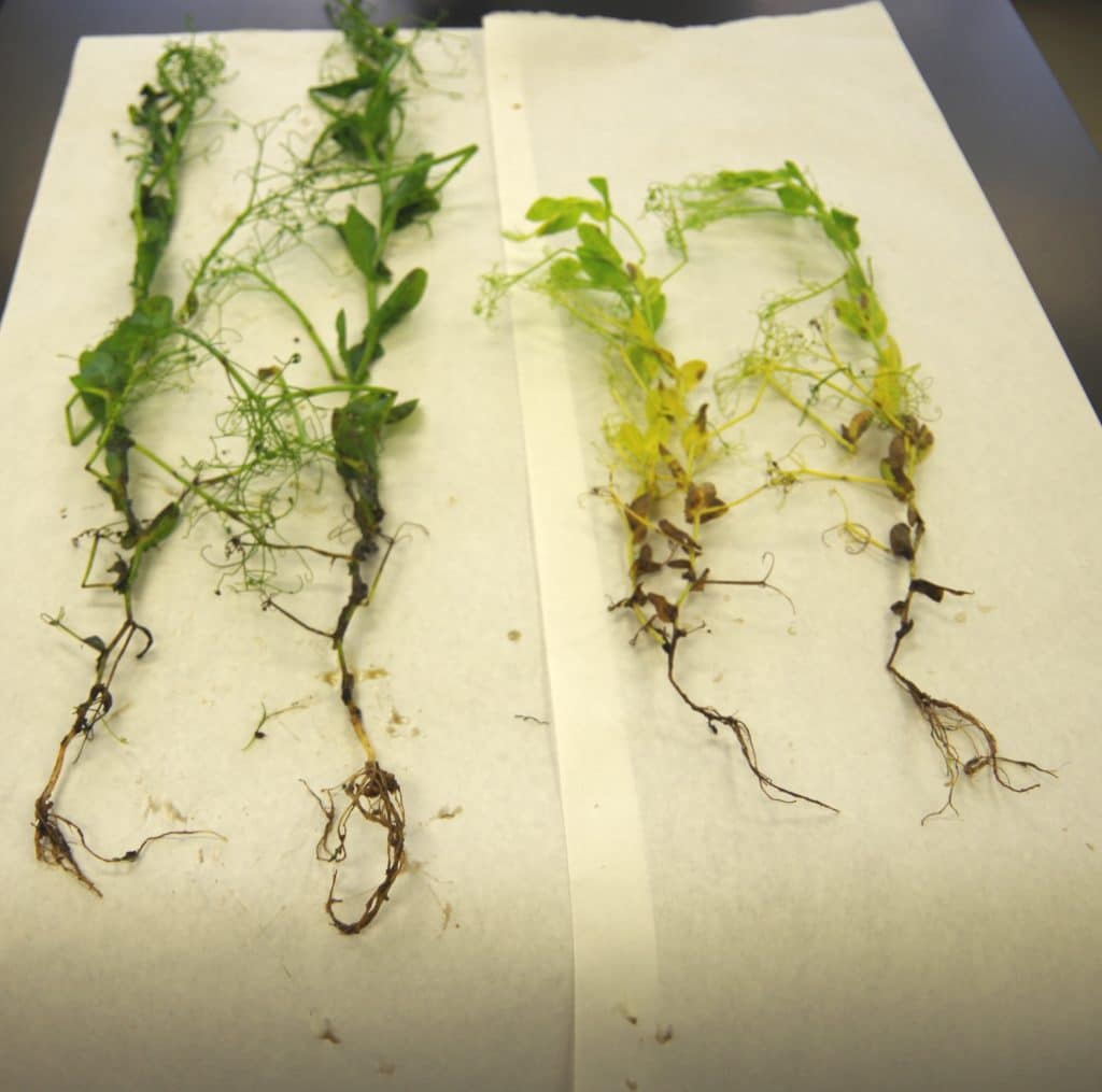 Healthy roots vs. Aphanomyces roots