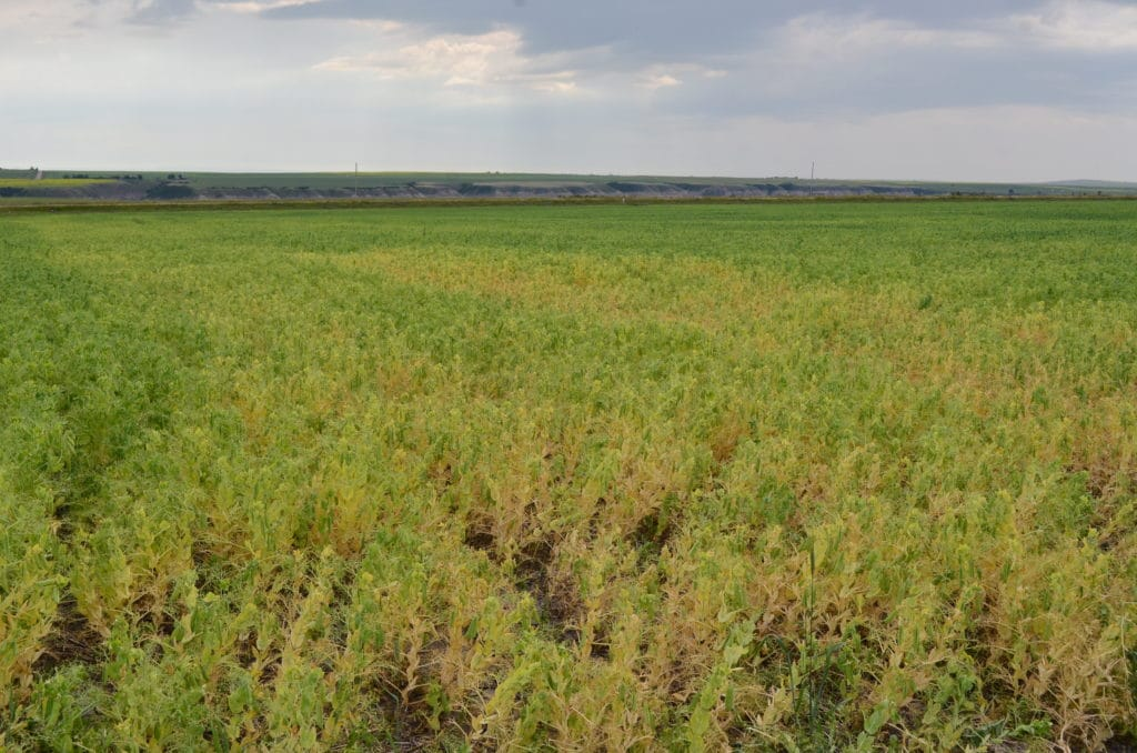 Field of peas infected with Aphanomyces
