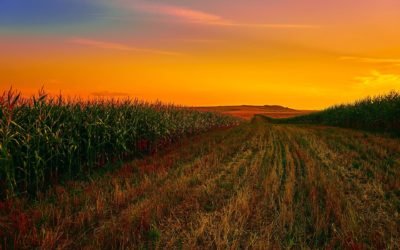 Grazing Corn Production in Northern Climates Worth Another Try