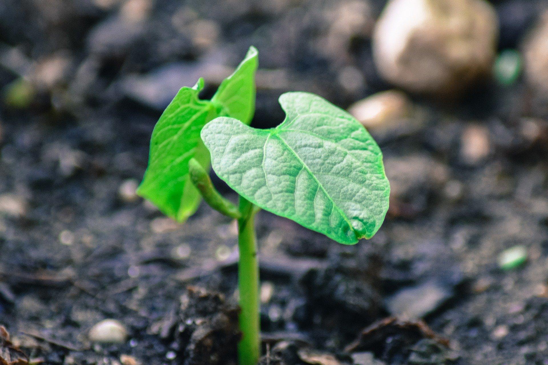 Freshly emerged plant