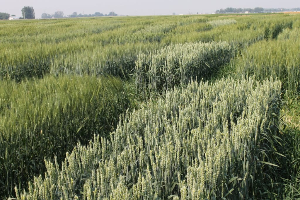 Regional Variety Trial plot of CPSR wheat