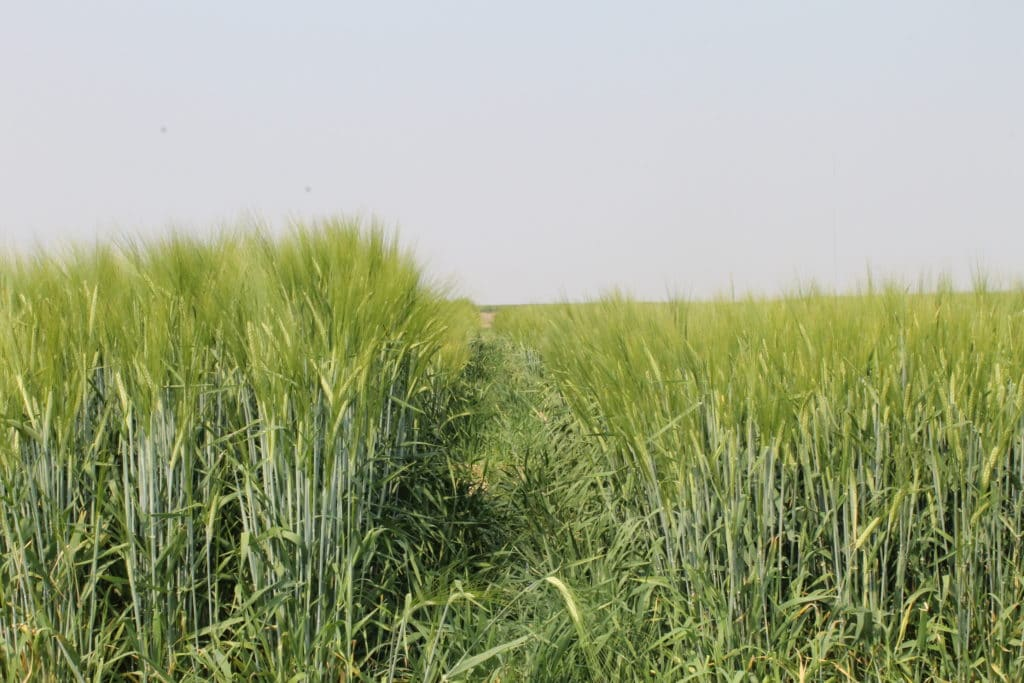 Irrigated Regional Variety Trial plots of Lowe barley and CDC Bow barley