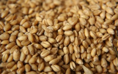 Seed Testing Critical to Ensuring Good Cereal Seed Performance in 2022