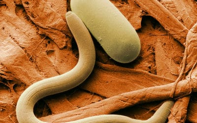 New Tests for Soybean Cyst Nematode are Crucial to Fighting This Pathogen